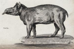 view A tapir. Etching by Heath.