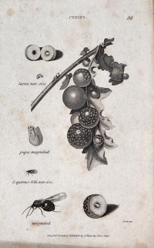 view The larva and pupa of a gall fly next to a gall fly in natural size and magnified, a cross-section of an infested fruit and a branch of a fruit tree with infested fruit. Engraving by Heath.