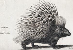 view A common porcupine. Engraving by Heath.