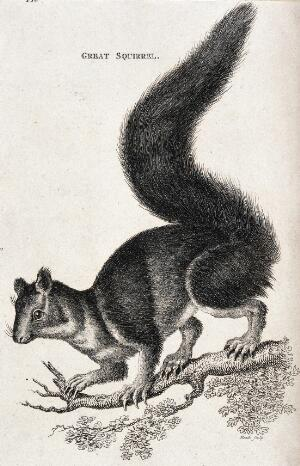 view A great squirrel. Etching by Heath.