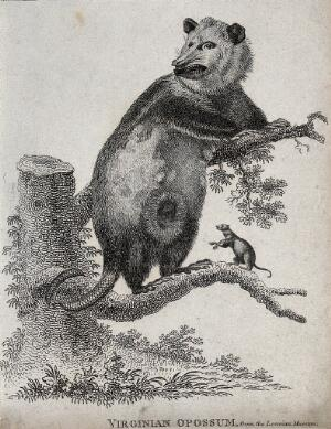 view An opossum climbing a tree while one of its young has left the pouch to clamber on the branch by itself. Etching.