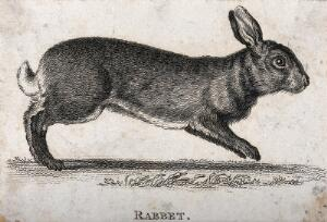 view A rabbit. Etching.