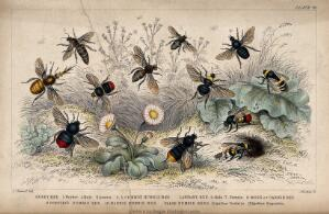 view Twelve different species of bees swarming a flowery meadow. Coloured etching by J. Bishop, 1855, after J. Stewart.