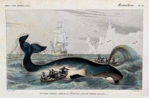 view A whale being speared with harpoons by fishermen in the arctic sea. Engraving by A. M. Fournier after E. Traviès.