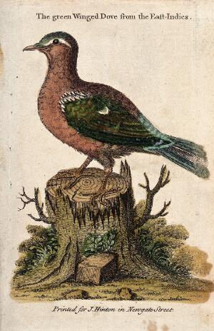 view A green winged dove from the East Indies sitting on a tree stump. Coloured etching by J. Basire.
