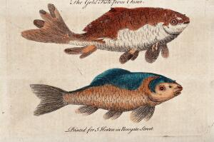 view Two goldfish (small reddish-golden chinese carp). Coloured etching.