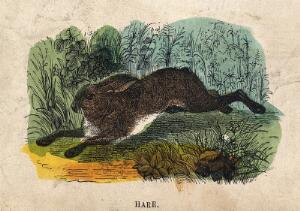 view A hare. Coloured wood engraving.