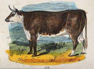 view A cow. Coloured wood engraving.