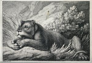 view A lioness lying in some grass. Etching by W-S Howitt after himself.