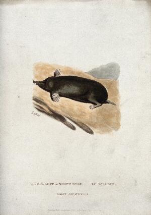 view A shrew-mole (Scalops species). Coloured engraving by Griffith, ca 1822.