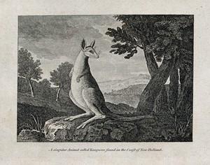 view A kangaroo. Etching.