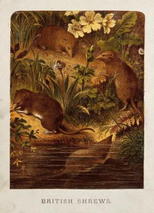view Four shrews swimming and hunting for food on a grassy bank. Coloured etching.