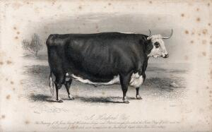view A Hereford ox. Etching by E. Hacker, ca 1850, after W.H. Davis.