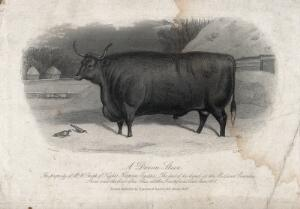 view A Devon steer. Etching by E. Hacker, ca 1869, after E. Corbet.