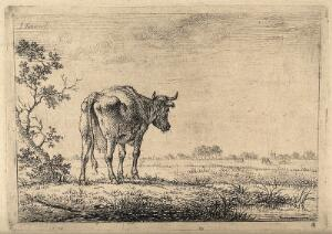 view A cow gazing out across a field. Etching by J. Janson, the elder.