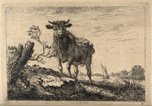 view A cow bellowing in a field by a lake. Etching by J. Janson, the elder.