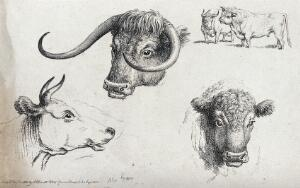 view Three cows' heads, including one long horn and a short horn, and a small scale bull and cow. Etching, ca 1801.