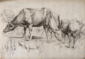 view A study of cows in various positions. Engraving.