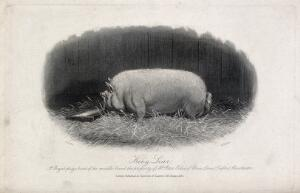 view A prize boar. Etching by E. Hacker, ca 1867, after E. Corbet.