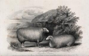 view Two Leicester rams. Etching by H. Beckwith, ca 1849, after H. Strafford.