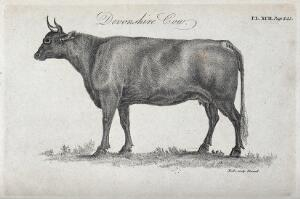 view A Devonshire cow. Stipple engraving by Neele.