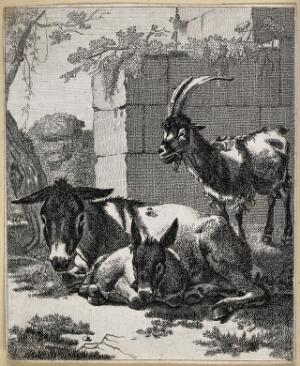 view Two donkeys resting and a goat standing by them. Etching.
