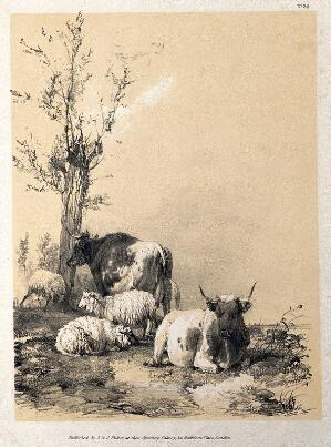 view Cows and sheep resting in a field. Lithograph with gouache by A. Ducote.