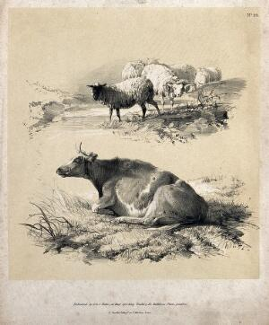 view Sheep by a stream (above) and a cow lying in the grass (below). Lithograph with gouache by A. Ducote.