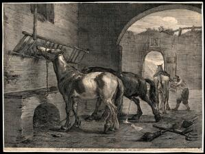 view Three horses inside a derelict stable: one is eating from a raised trough, another is urinating and a third one is being groomed by a stablehand. Etching after P. van Laer.