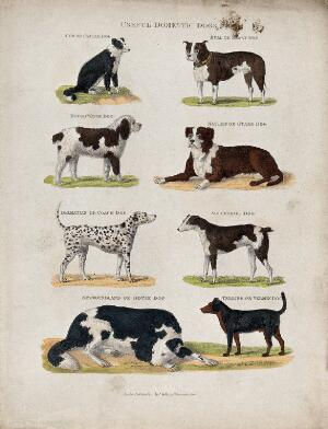 view Eight different domestic dogs, including a cattle dog, a bull dog, a mastiff, a rough water dog and a dalmatian. Coloured etching.