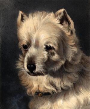 view The head of a griffon dog. Coloured lithograph by J.B.A. Lafosse after W. Barraud.
