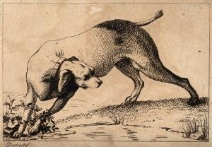 view A hunting dog is turning its head as it is about to cross a little stream. Etching by A. F. Desportes.