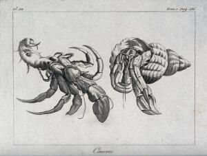 view Crabs. Etching.