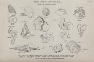 view A variety of spiral and subspiral shells, including Haliotis, Nerita and Dolium. Line block.