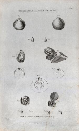 view Ammonites from the Pacific Ocean, some cross-sectioned. Etching by B. L. Prevost.