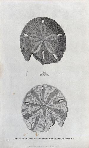 view Great sea urchins of the North West Coast of America. Etching by B. L. Prevost.