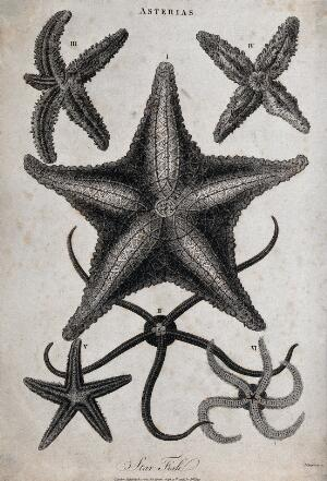 view A variety of star fish. Etching by J. Chapman.