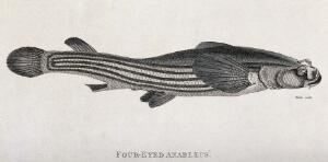 view A four eyed anablebs. Engraving by Heath.