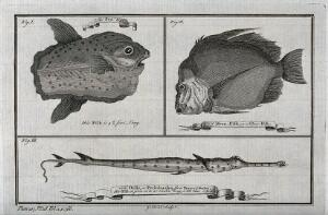 view Above, a sun-fish and a moonfish; below, an Orfie (or Petinbuaba) fish. Etching by G. Child.