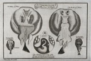 view Various cross-sections of a cramp-fish and its parts. Etching.