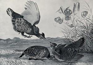 view Three prairie chickens (Tympanuchus cupido) Reproduction of a painting by J. J. Audubon, ca. 1827.