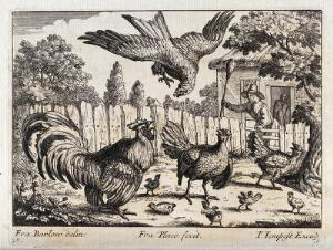 view An eagle swooping for some chicks and being attacked by a cockerel and a farmer waving a broom. Engraving by F. Place, ca. 1690, after F. Barlow.