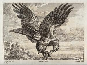 view An eagle carrying off an owlet. Engraving by F. Place, ca. 1690, after F. Barlow.