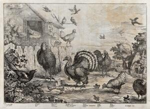 view Birds in a farmyard: magpie, sparrow, turkey, dove, cockerel and hen. Etching by J. Griffier after F. Barlow.