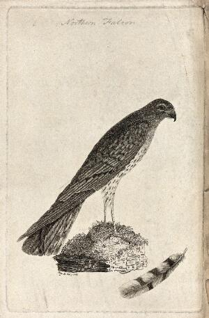 view A falcon or kestrel and one of its tail feathers. Etching by Eliza D.