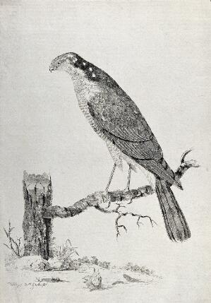 view A sparrow-hawk. Etching by W. Hayes, ca. 1780.