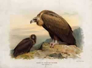 view A black vulture (Vultur monachus). Chromolithograph by W. Greve after A. Thorburn, ca. 1885.