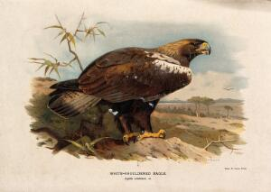 view A white-shouldered eagle (Aquila adalberti). Chromolithograph by W. Greve after A. Thorburn, ca. 1885.