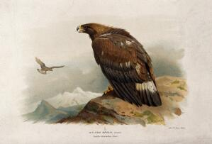 view A golden eagle (Aquila chrysaetos). Chromolithograph by W. Greve after A. Thorburn, ca. 1885.