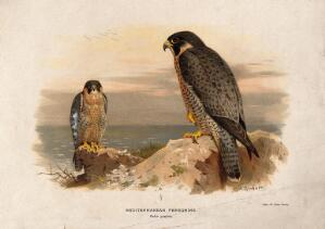 view A Mediterranean peregrine (Falco punicus). Chromolithograph by W. Greve after A. Thorburn, ca. 1885.
